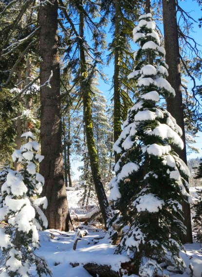 Snow covered trees at Donner Summit Rest Area on Interstate 80. Photo by Curtis Mekemson.