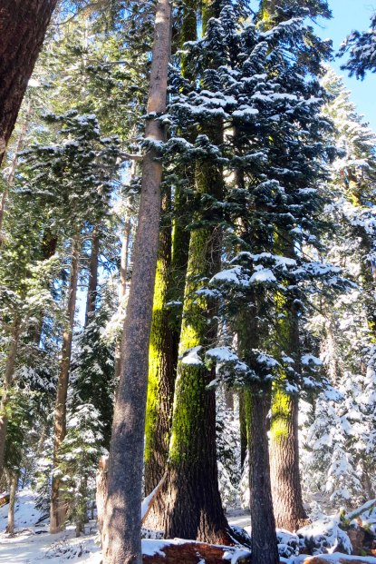 Snow covered trees on the crest of the Sierra Nevada Mountains. Photo by Curtis Mekemson.