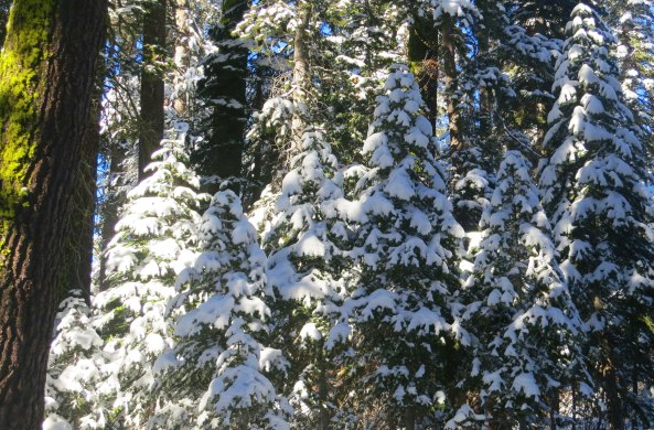 Photo of snow covered trees on the crest of the Sierra Nevada Mountains by Curtis Mekemson.