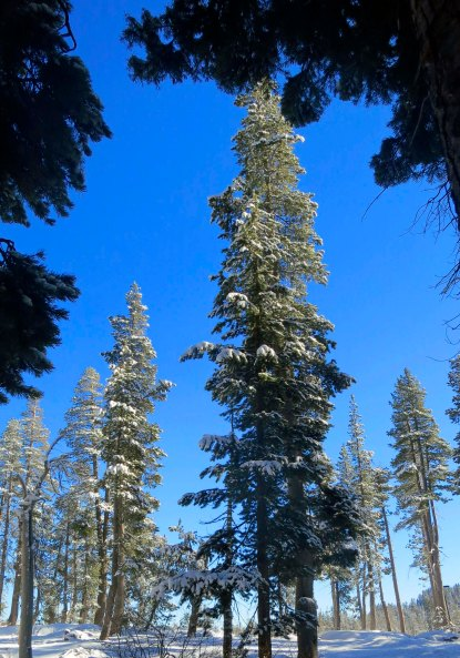 Snow covered woods at Donner Summit. Photo by Curtis Mekemson.