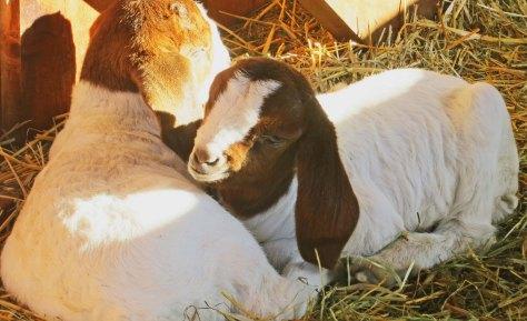 Baby goats preparing to nap. Photo by Curtis Mekemson.