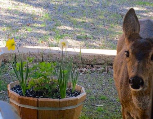 Black tail deer visits the Mekemson house in Southern Oregon. Photo by Curtis Mekemson.