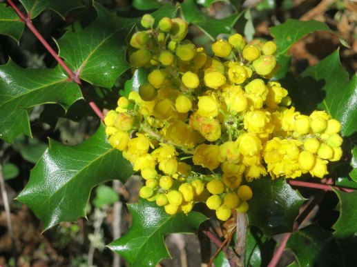 Oregon Grape flower found along the Sterling Mine Ditch Trail in Southern Oregon.