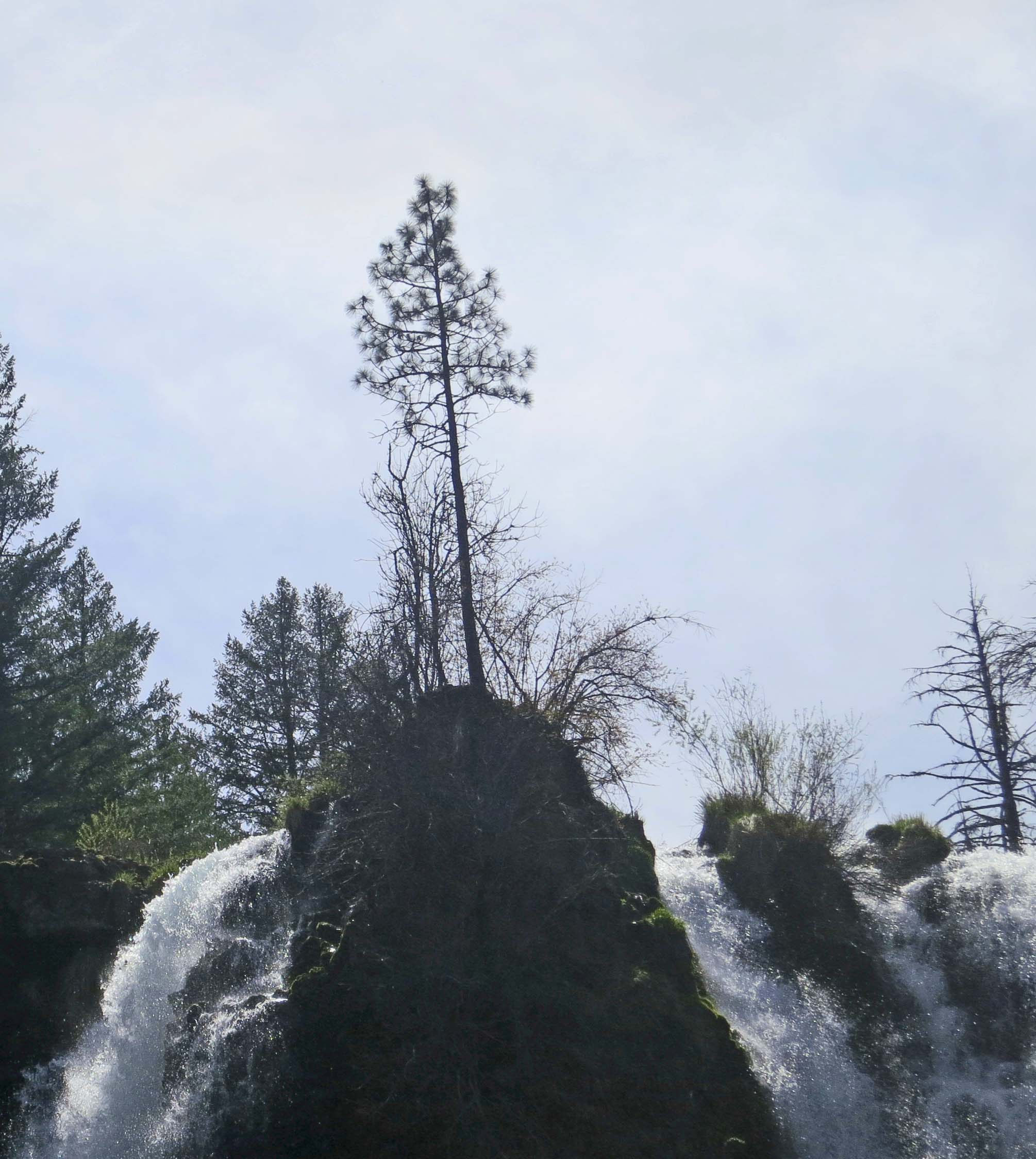 Ponderosa Pine tree and Burney Falls in Northern California.