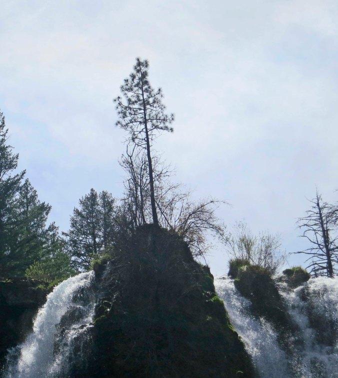 Ponderosa Pine tree and Burney Falls in Northern California.
