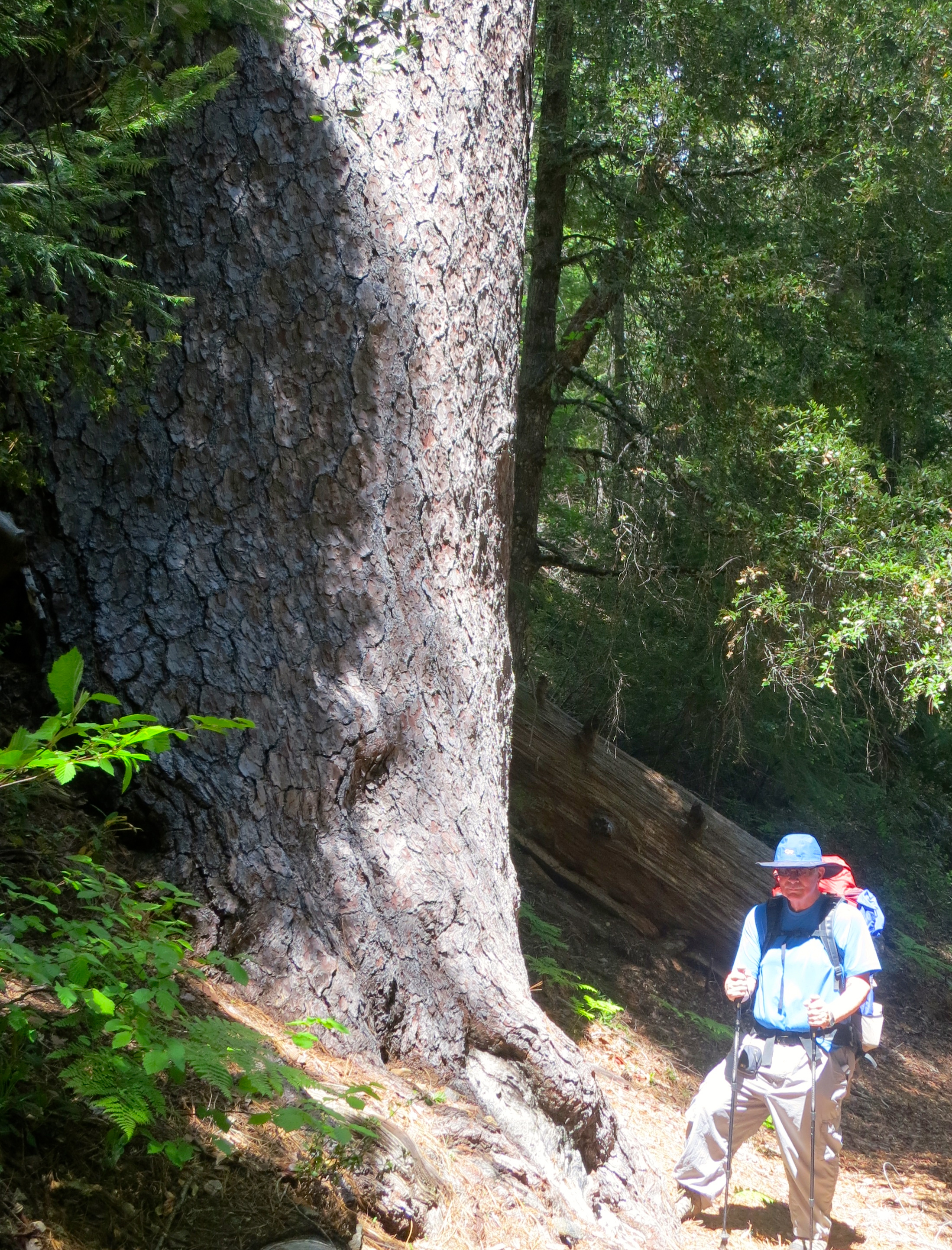 Massive sugar pine tree in the Red Buttes Wilderness.