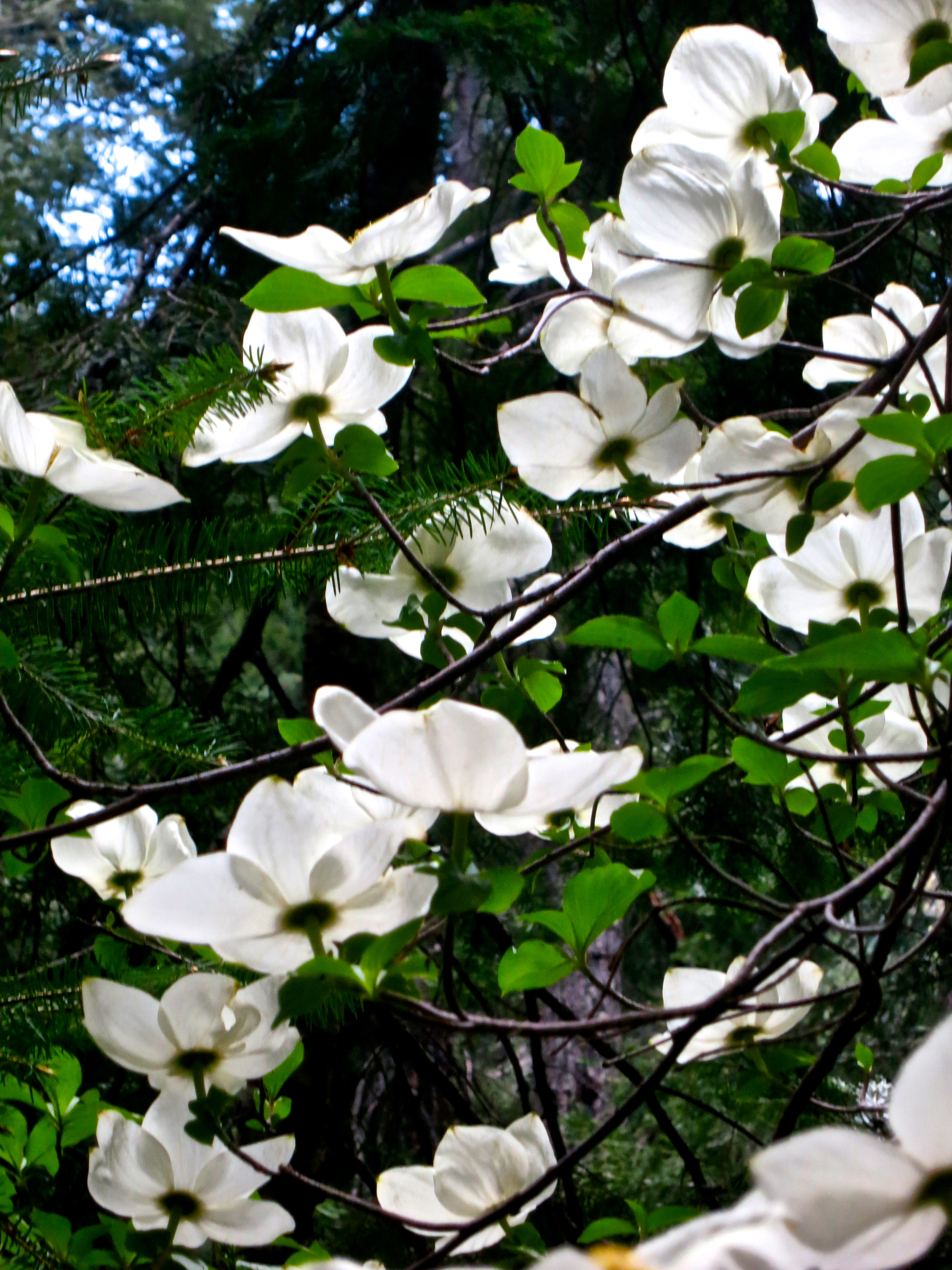Flowering dogwood in the Red Butte Wilderness.