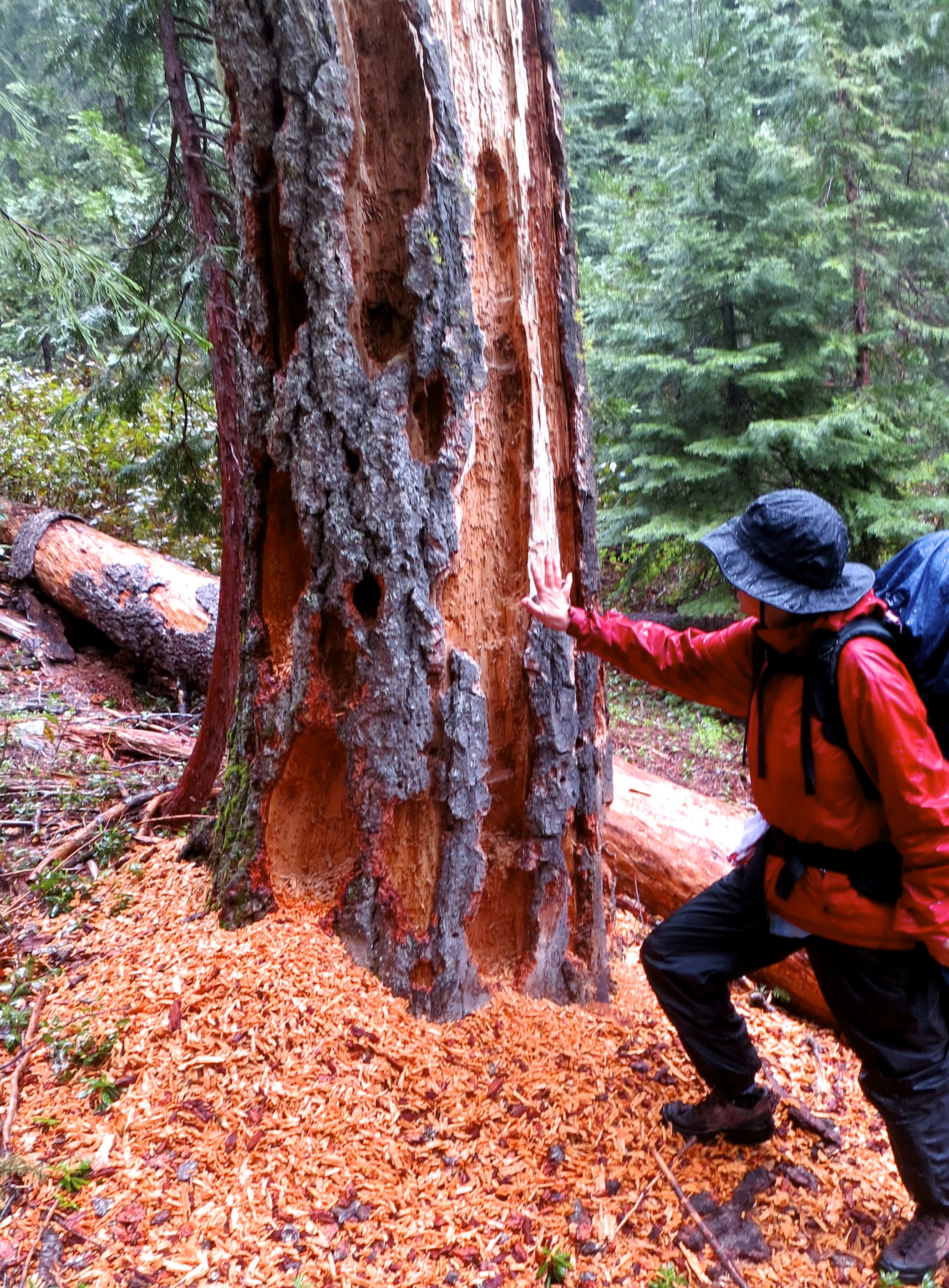 Tree torn apart for bugs in Red Butte Wilderness.
