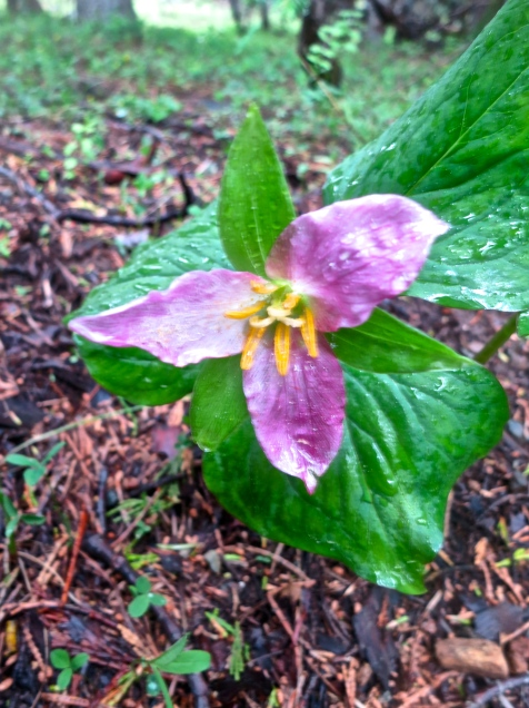 Trillium growing in Red Buttes Wilderness.
