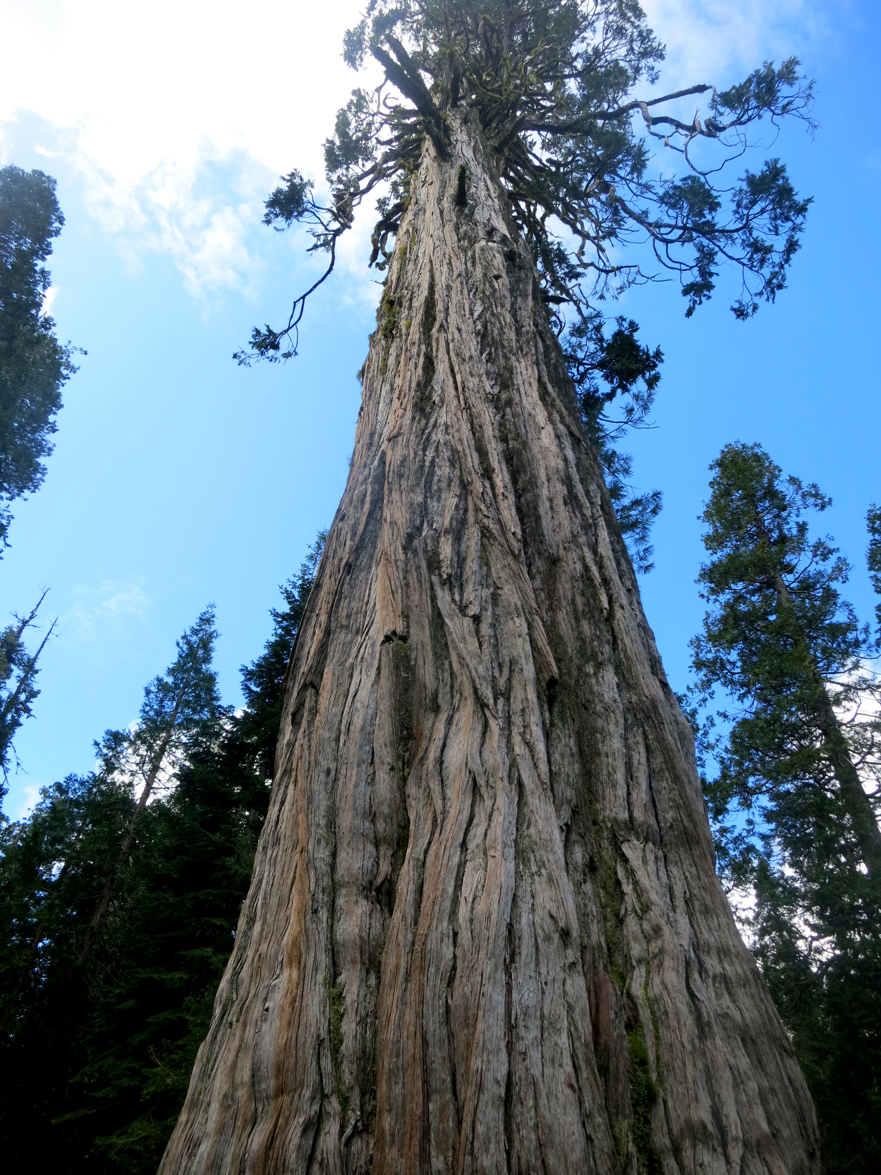 Old Growth Cedar in Red Buttes Wilderness of Northern California and Southern Oregon.