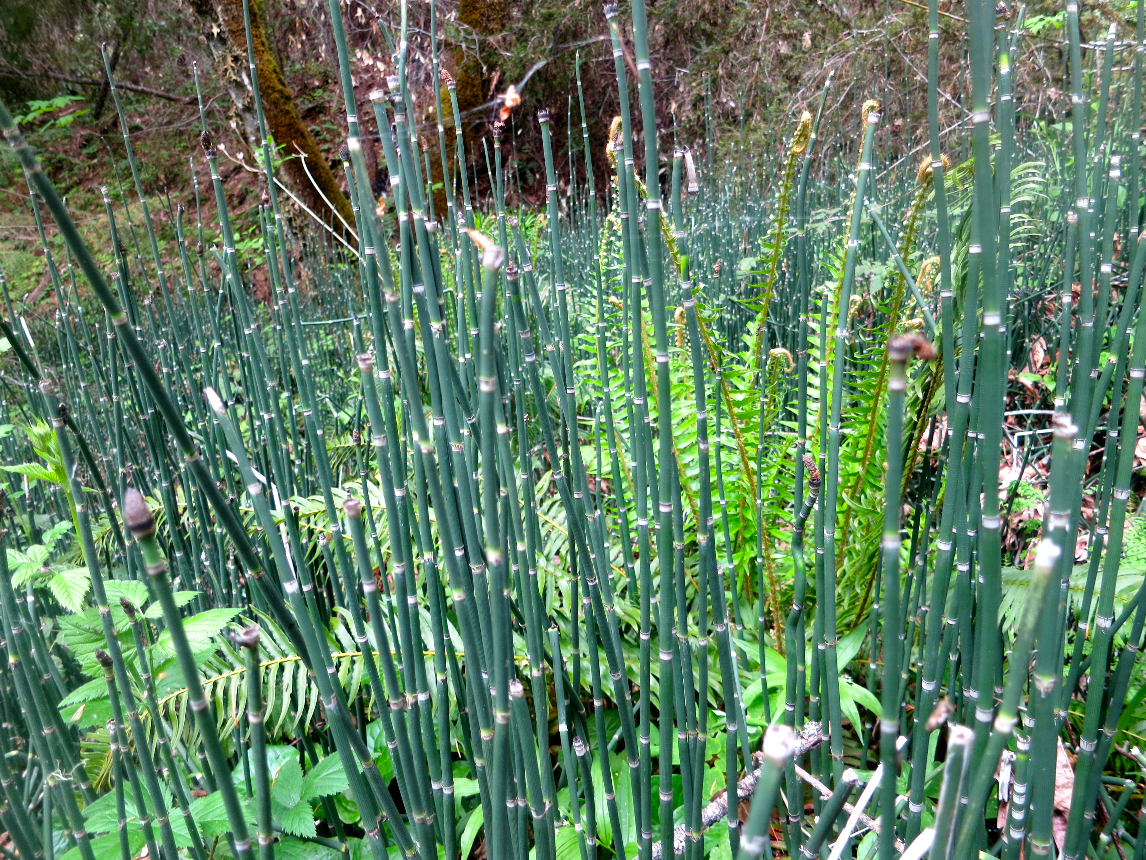 Horsetail fern growing in the Red Butte Wilderness.