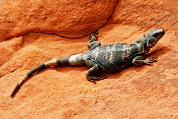 Chuckwallas are commonly found in the Valley of Fire State Park in Nevada and throughout the Mojave Desert.