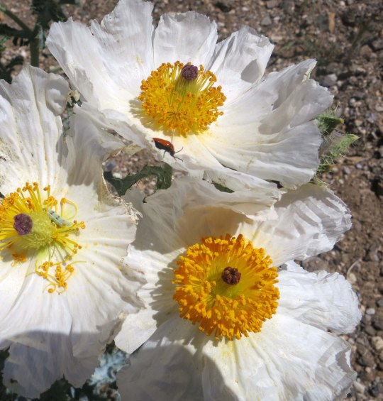 Prickly poppies growing in the Panamint Range of Death Valley.