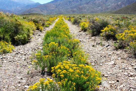 Desert flowers in the Panamint Range of Death Valley.