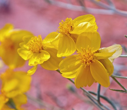 Spring rains can bring an amazing display of flowers in the desert. (Photo by Peggy Mekemson.)