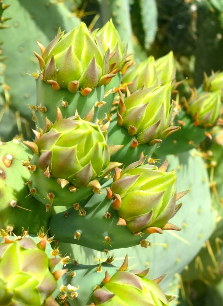 Cactus Flower buds at Valley of Fire State Park in Nevada.