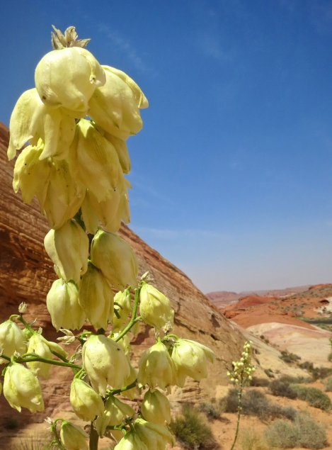 Flowering yucca in the Valley of Fire State Park. Photo by Curtis Mekemson.