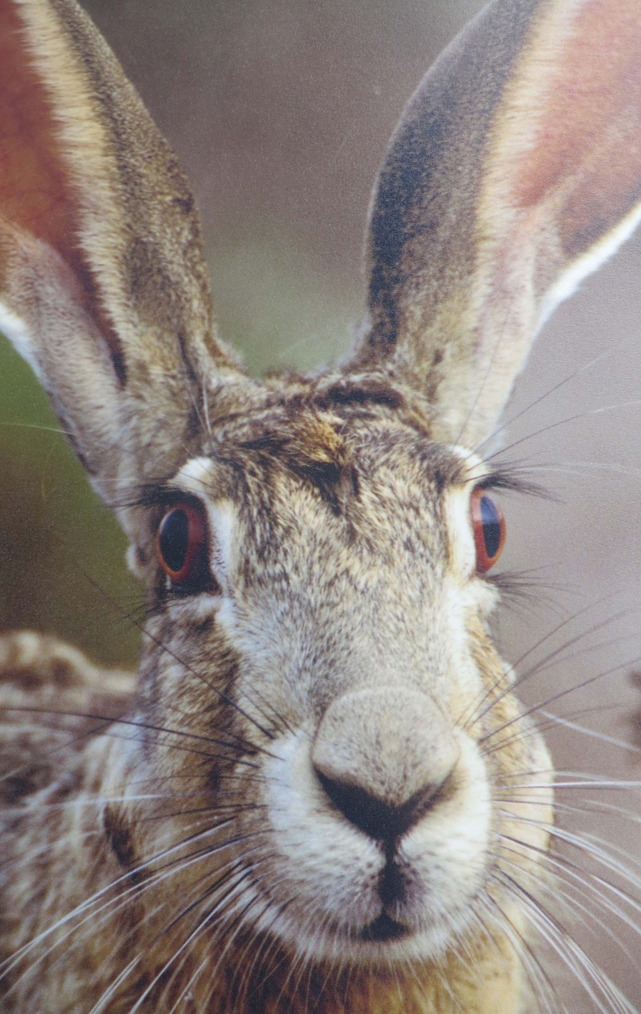 A jackrabbit. (Photo at Red Rock Canyon Museum.)