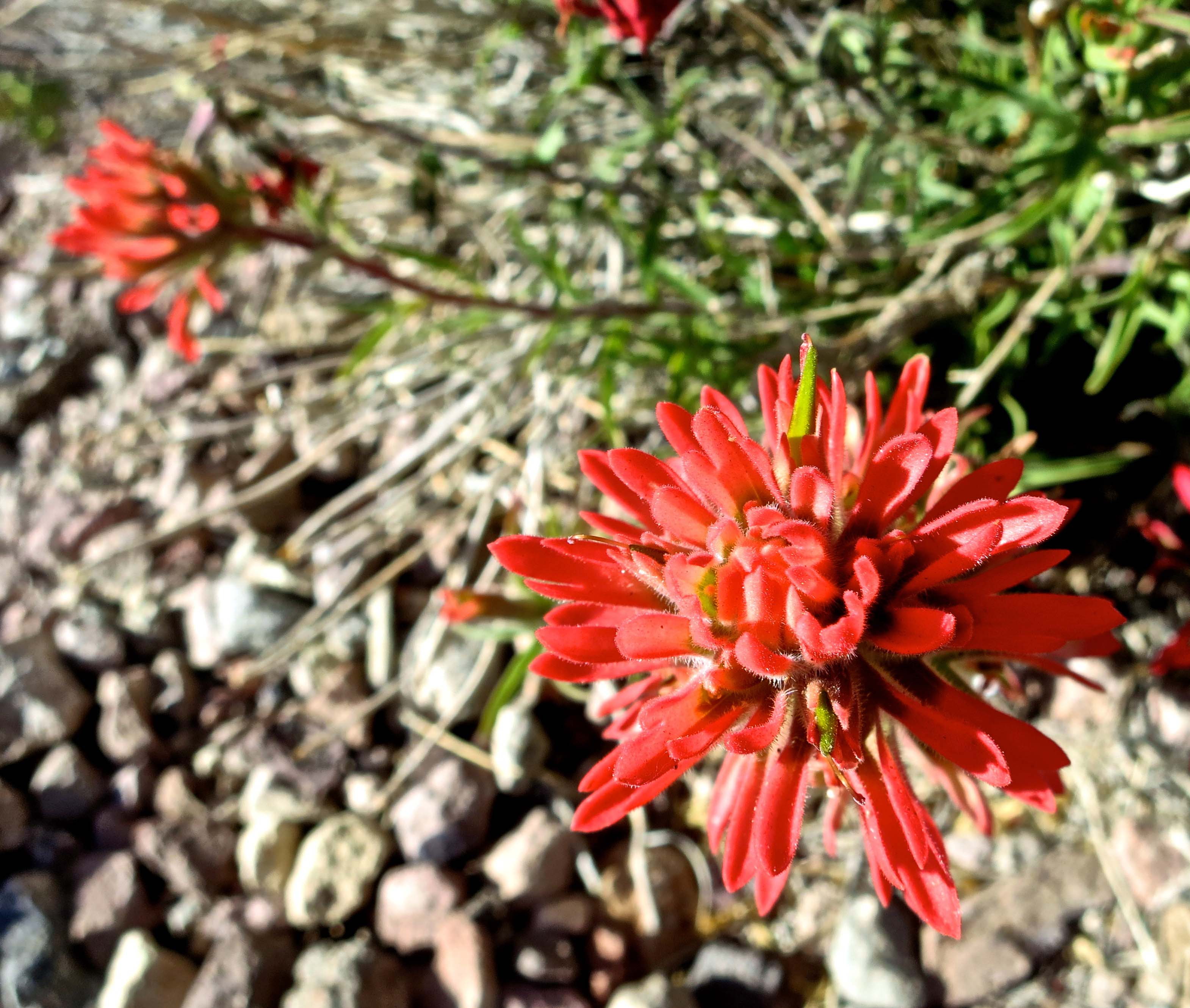 Indian Paintbrush at Dante's View in Death Valley National Park.