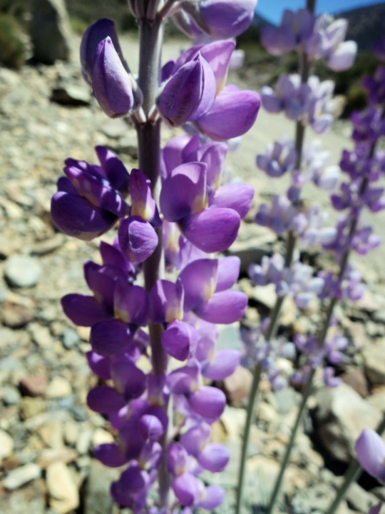 Lupine growing in the Panamint Range of Death Valley.