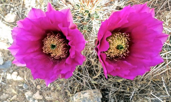 I thought these twin cactus flowers would provide a fitting conclusion for my blog on Red Rock Canyon National Conservation Area.