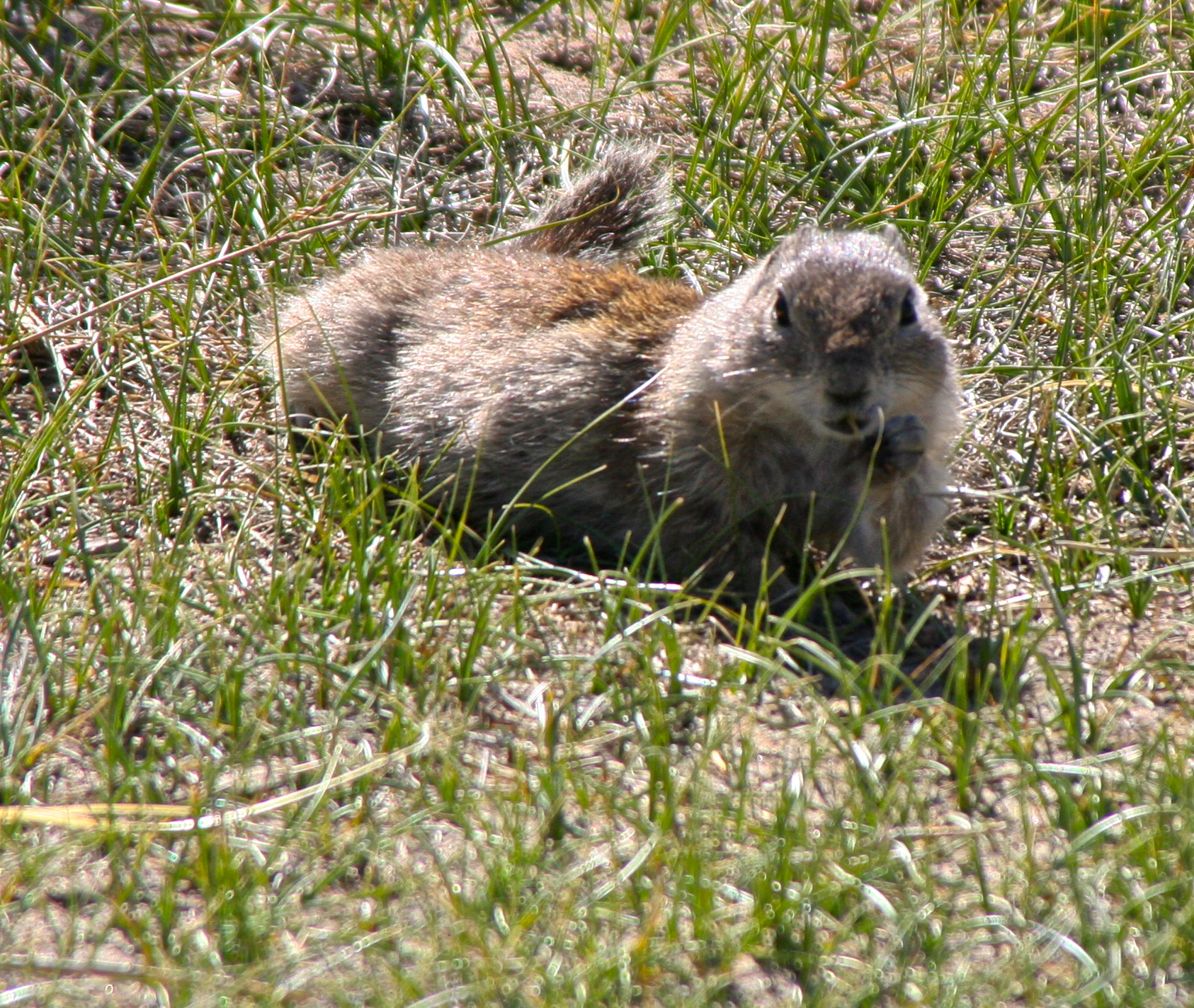 Prairie dog at Bodie State Historical Park in California.