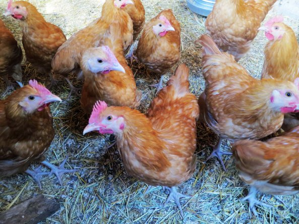 The young roosters listened carefully to my sage advice.