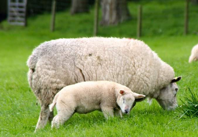 Mother sheep and lamb in southwestern Scotland. Photo by Curtis Mekemson.