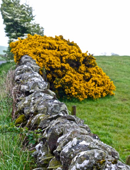 Photo of ancient fence in Scotland and Scottish Broom taken by Curtis Mekemson.