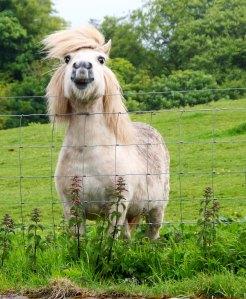 Photo of Scottish pony taken by Curtis Mekemson.