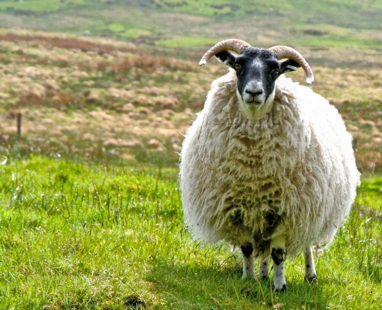 Scottish sheep photo by Curtis Mekemson.