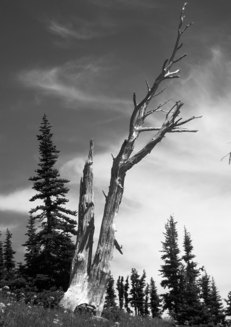 Dead tree outlined against the sky in a black and white photo at Mt. Rainier National Park. Photo by Curtis Mekemson.