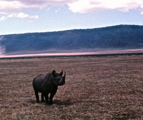 I was charged by a rhino once when I was in Ngorongoro Crater, Africa. I took this photo with my Kodak Instamatic just before he charged. I didn't get any closeups.