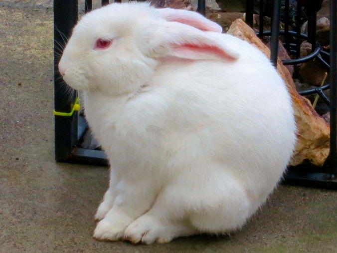 Tillamook, Oregon Bunny. Photo by Curtis Mekemson.