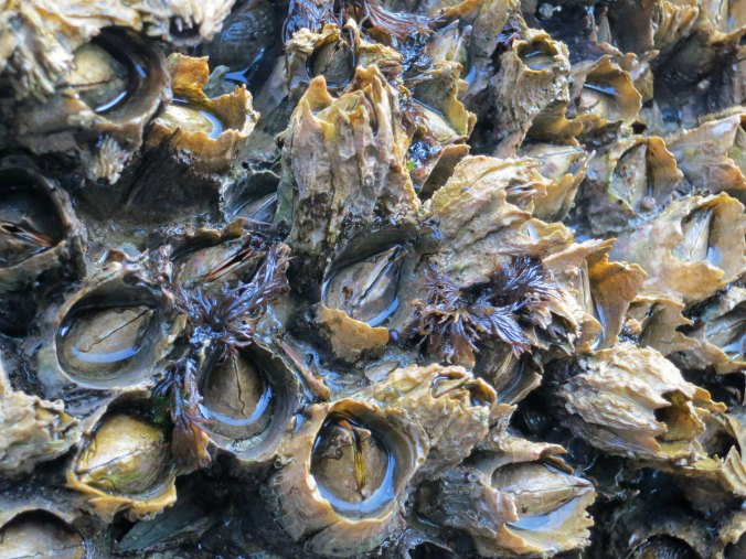 Photo of barnacles off of Compton Island in Blackfish Sound, British Columbia. Photo by Curtis Mekemson.