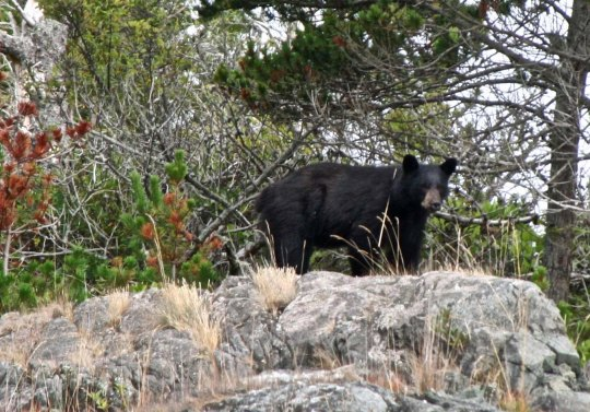 Bear on Johnstone Strait, BC.