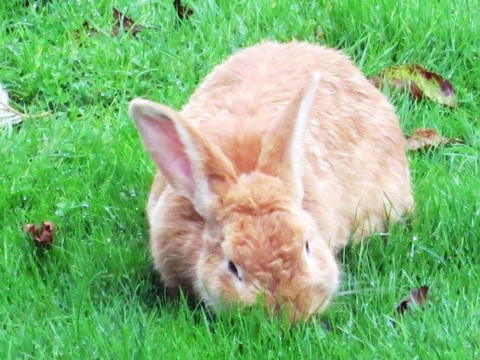 Furry rabbit near Tillamook, Oregon.