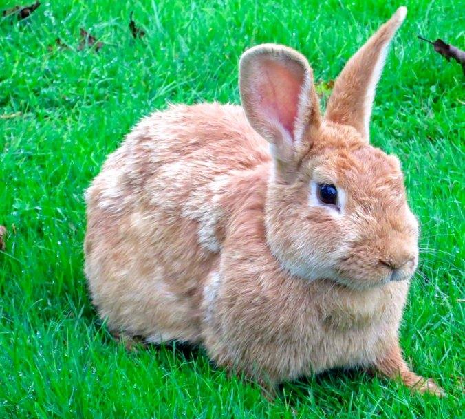 Alert brown rabbit near Tillamook, Oregon.
