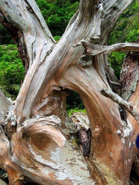 Driftwood found next to Orca-Lab on Hanson Island, British Columbia. Photo by Curtis Mekemson.