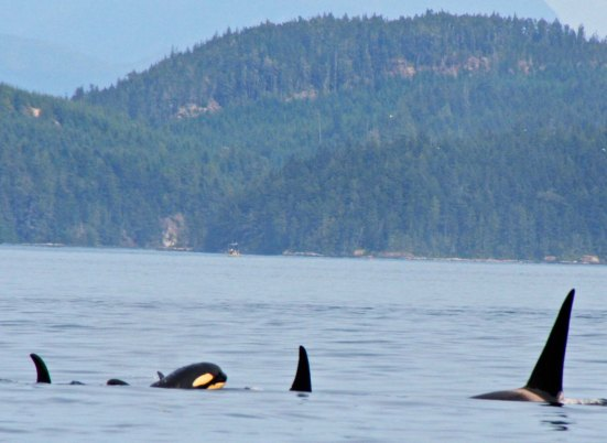 A baby orca surfaces in Johnstone Strait, BC.