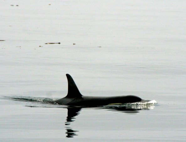 Since we had begun our kayak adventure searching for orcas, it is appropriate that I end this series with a picture of the final orca we saw. (Photo by Peggy Mekemson.)