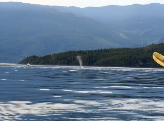 Thar she blows! We spot the tell-tale spume of a humpback whale as it surfaces. (Photo by Peggy Mekemson.)
