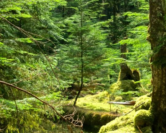 Sunlight illuminates a very green forest on Hanson Island in British Columbia. Photo by Curtis Mekemson.