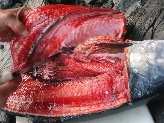 A filleted coho salmon displaying roe. Photo by Curtis Mekemson.