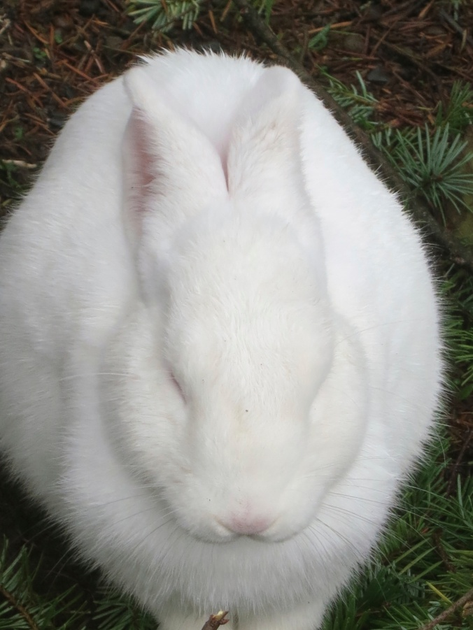 White rabbit near Tillamook, Oregon. Photo by Curtis Mekemson.