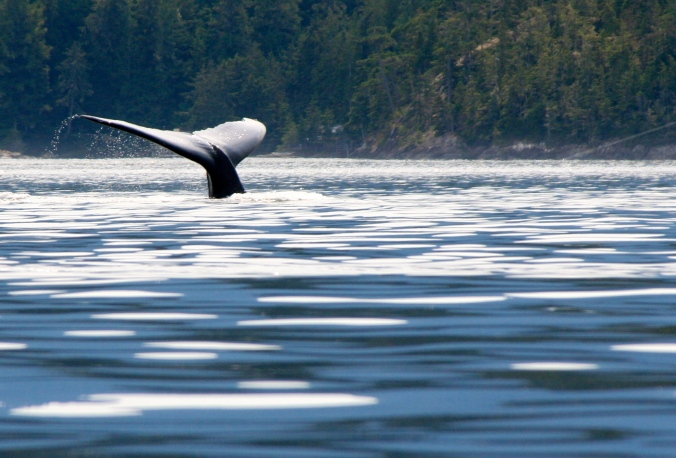 The humpback, brought in closer by Peggy's telephoto, dives back under the water. (Photo by Peggy Mekemson.)