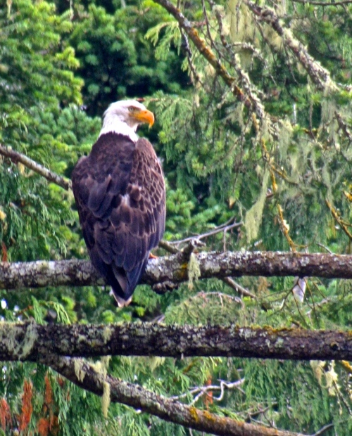 Bald eagle on Compton Island in British Columbia.