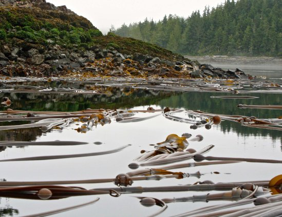 Kelp beds off Vancouver Island in Blackfish Sound, British Columbia.