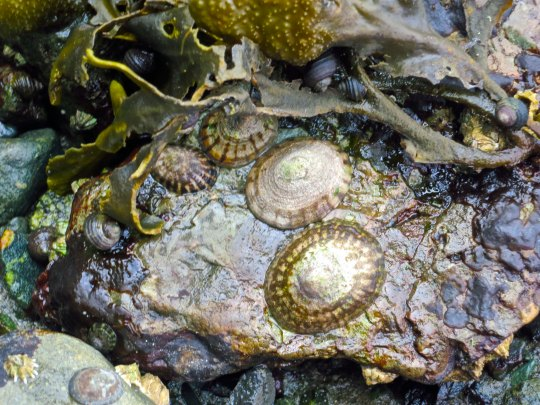 Limpets and snails are exposed by low tide on Hanson Island British Columbia off of Johnstone Strait. Photo by Curtis Mekemson.