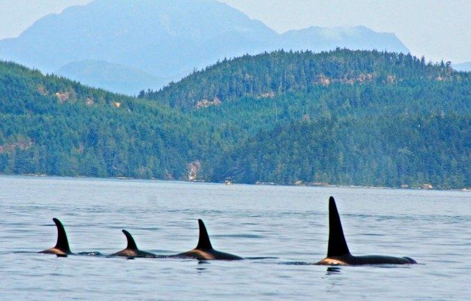 Orca family in Johnstone Strait, British Columbia.
